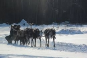 Reindeer with sleigh -- Wikipedia file photo