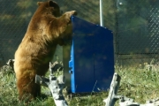 Bear-resistant bins can stop bears from turning into garbage eaters.