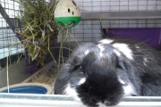 Rabbits are not appropriate pets for small children. — Photo courtesy BC SPCA