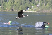 A few Canada geese got into the competition during the late stages of Sunday's Olympic distance swim at Lakeside Park. — Bruce Fuhr photos