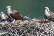 Taghum bridge Osprey Family. — Photo courtesy Madeleine Guenette