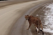 Two have been charged after a cheetah was observed wandering on the East Shore in December of 2015. — Photo courtesy RCMP