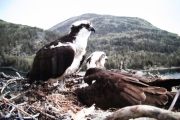In happier times, the male and female Osprey high atop the Nelson Hydro pole west of Nelson.