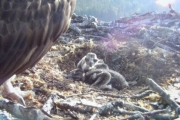 People all over the world are pulling for the Nelson Osprey chicks.