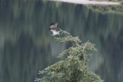 This Osprey takes off from a tree overlooking Kootenay River near Taghum. — Bruce Fuhr, The Nelson Daily
