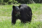 A black bear like the one seen in the photo was reported to be visiting the Rosemont neighbourhood recently.