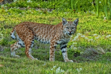 Bobcat. -- A Wiki Commons image.
