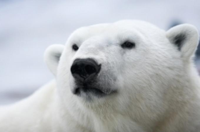Polar Bear Threatens Beaver As Canada National Symbol The Nelson Daily